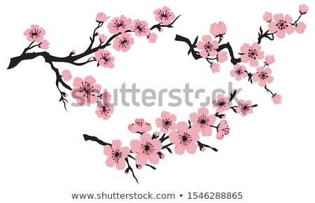Floración rama cereza aislado blanco flor Foto stock © All32