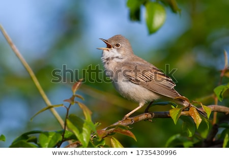 Whitethroat (Sylvia communis) Stock photo © chris2766