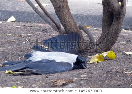 Dead bird on pavement, wings spread Stock photo © stevanovicigor