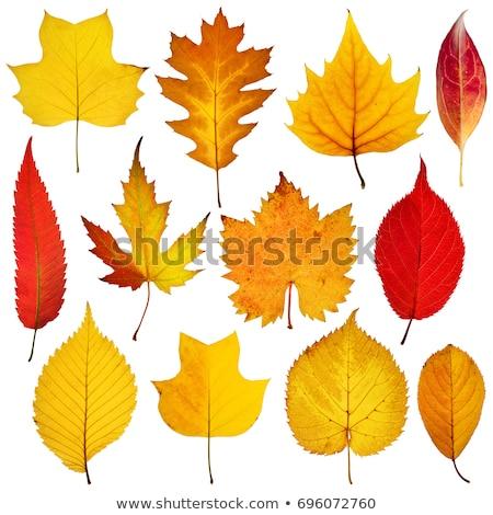 Isolated Autumn Leaves on black background Stock photo © denisgo