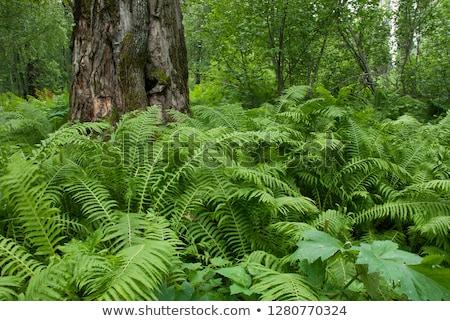 красивой папоротник плотный лес солнечный свет текстуры Сток-фото © meinzahn
