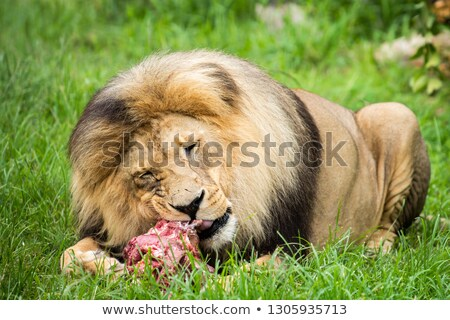 A lion with a meat Stock photo © bluering
