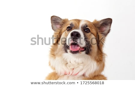 Stock photo: beautyful mixed breed dog sitting in a white background