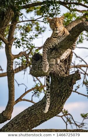 африканских · Leopard · дерево · молодые · женщины · филиала - Сток-фото © lienkie