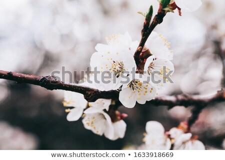 абрикос дерево полный Blossom цветы Сток-фото © joyr