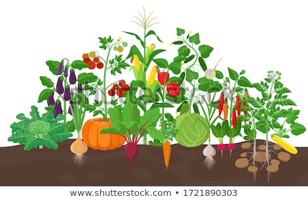 Carrots growing isolated. Fresh vegetables in garden Stock photo © popaukropa
