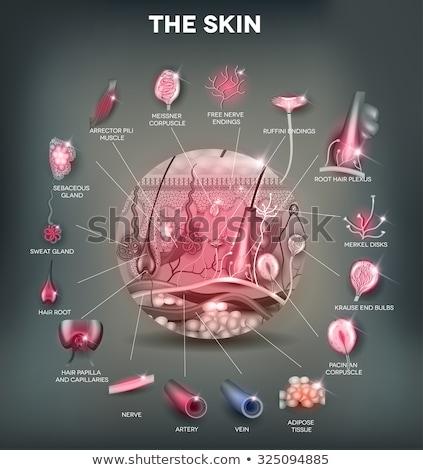 bőr · anatómia · részletes · orvosi · illusztráció · gyönyörű - stock fotó © Tefi