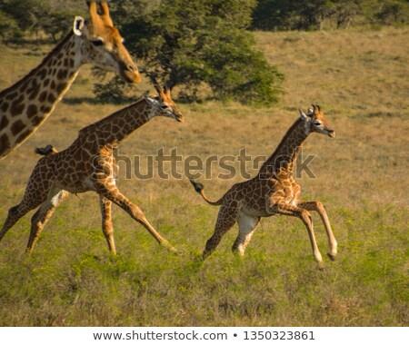 Fiatal zsiráf eszik park égbolt Afrika Stock fotó © simoneeman