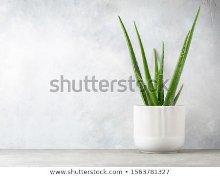 Aloe maceta gotas de agua verde aislado oscuro Foto stock © zhekos