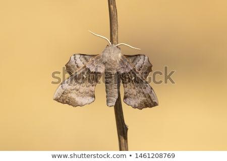 тополь · бабочка · природы · лист · саду · красоту - Сток-фото © vintrom