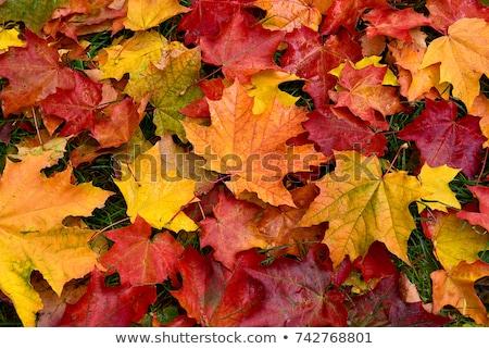 ősz · juhar · levelek · zöld · zöld · fű · felső - stock fotó © TanaCh