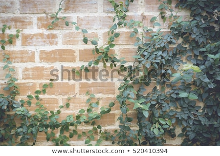 ivy roots on old building wall stock photo © taviphoto