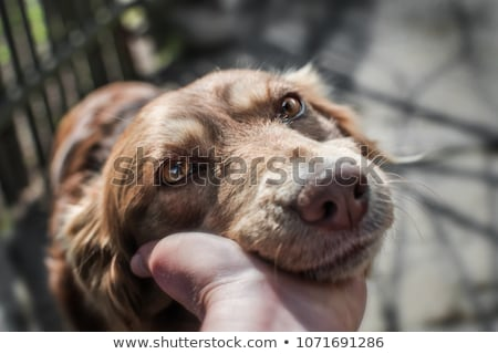 Young gray dog of a mongrel Stock photo © Kotenko
