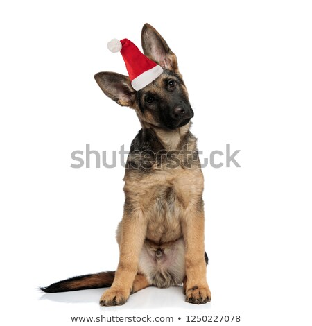 Curioso pequeno pastor cachorro sessão Foto stock © feedough