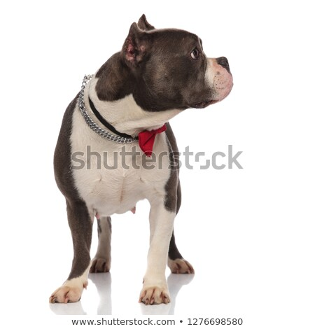 curious classy american bully wearing collar looks to side stock photo © feedough
