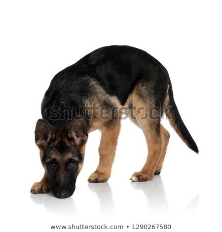 Godny podziwu w górę zapach biały psa wygląd Zdjęcia stock © feedough