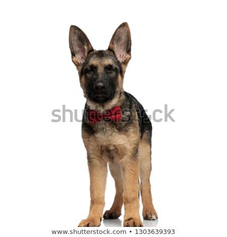 Stílusos farkas kutya visel piros csukott szemmel Stock fotó © feedough