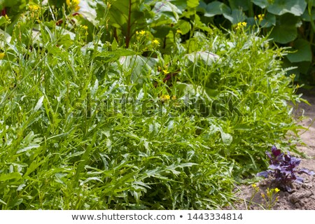 arugula grows in sunbeams Stock photo © romvo