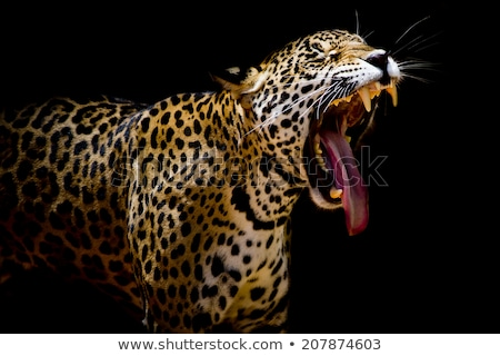 Leopard yawning in the bushes. stock photo © simoneeman