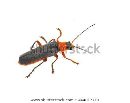 макроса красный солдата жук природы лист Сток-фото © manfredxy