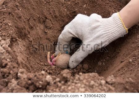 Woman hand planting potato tubers into the ground. Stock photo © Illia
