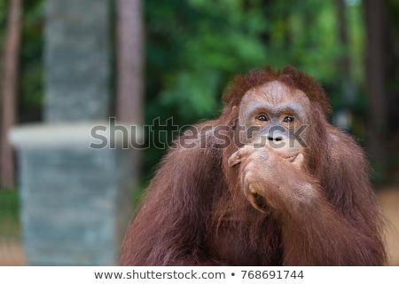 Mono pensamientos chimpancé naturaleza pensar persona Foto stock © Alvinge