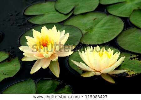 beautiful blossom yellow lotus with yellow pollen and water drop stock photo © pinkblue