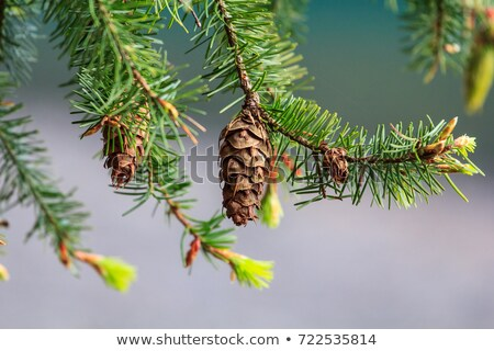 Douglas-fir Pine Cone Stock photo © brm1949