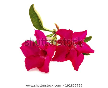 Red rhododendron flowers Stock photo © KMWPhotography