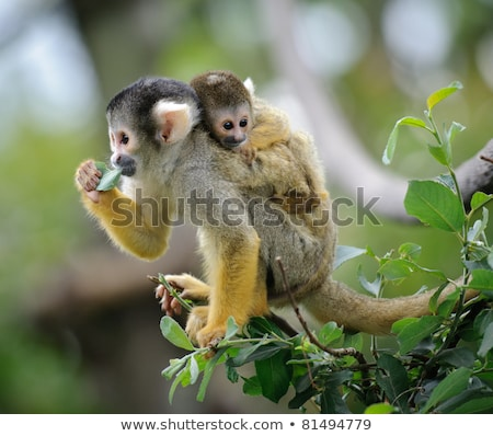 black capped squirrel monkey stock photo © sarahdoow
