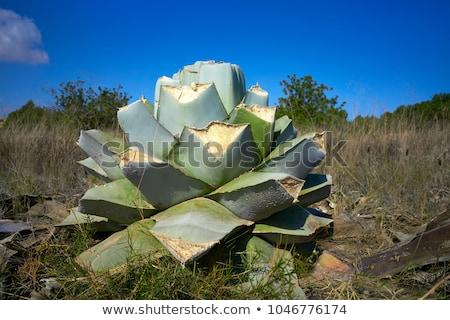 Agave dettaglio mediterraneo verde natura fiore Foto d'archivio © lunamarina