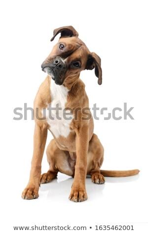 curioso · cachorro · adorável · francês · buldogue · bonitinho - foto stock © willeecole