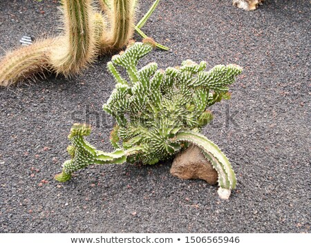 странно кактус Невада пустыне цветок Сток-фото © emattil