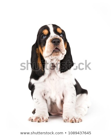 Basset hound, dog on white background stock photo © ChilliProductions