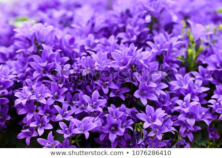 violet campanula flowers close up stock photo © julietphotography