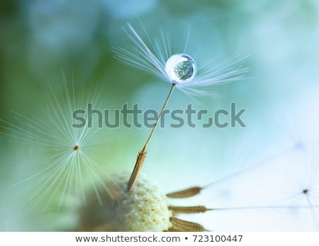 White Dandelion seed with water drops on green Stock photo © Taiga