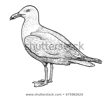 Herring Gull (Larus argentatus) Stock photo © dirkr