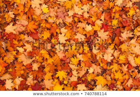 紅葉 豊富な オレンジ 葉 暗い ストックフォト © silkenphotography