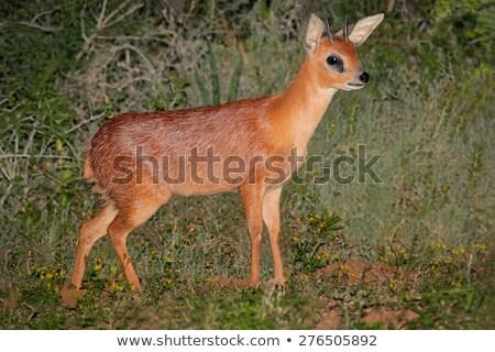 Güney çalı Güney Afrika doğa kahverengi yaban hayatı Stok fotoğraf © dirkr
