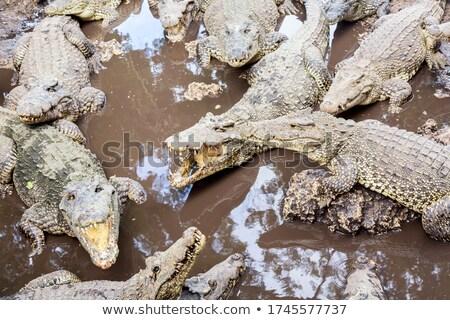 многие американский Крокодилы воды зубов кожи Сток-фото © OleksandrO