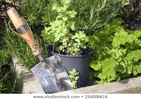 stainless steel garden trowel in herb garden stock photo © morrbyte
