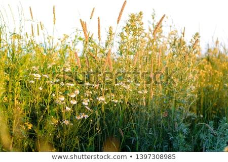 yellow meadow stock photo © yhelfman