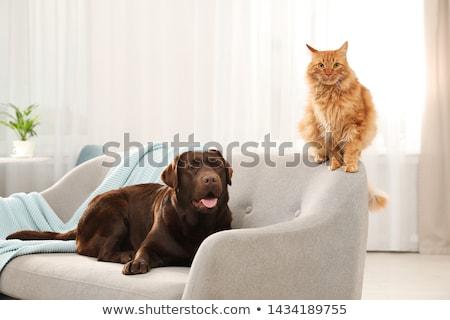 Сток-фото: кошки · диван · красный · глазах · домой · расслабиться