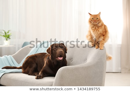 cat at the sofa stock photo © meinzahn