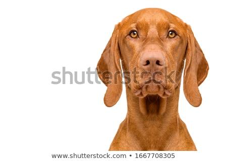 Portrait of a beautiful dog Stock photo © smuki