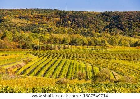 őszi szőlőskert alsó Ausztria ősz Európa Stock fotó © phbcz