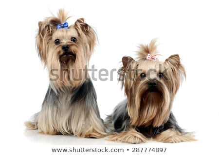 yorkshire terrier in a wehite studio Stock photo © vauvau