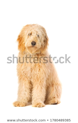 Stock photo: brown mixed breed dog in a white studio