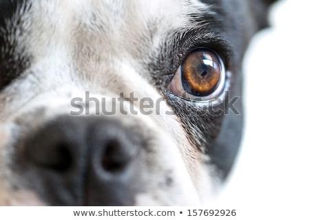 Französisch Bulldogge Hund weiß Hintergrund Stock foto © OleksandrO