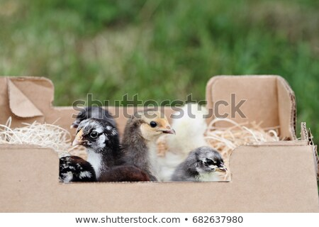 Mail Ordered Blue Cochin Chick Stock photo © StephanieFrey